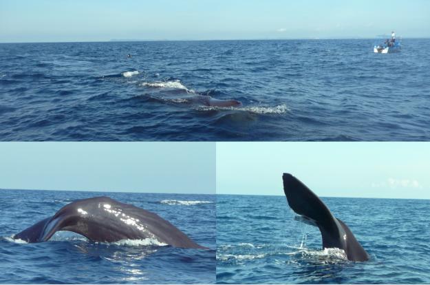 Sprem whales in Trincamolee